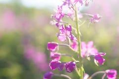 Plan rapproché d'Ivan-thé, kiprei, epilobium, tisane sur le champ Jeunes adultes Floraison photos libres de droits