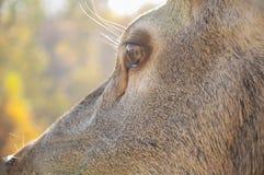 Plan rapproché d'oeil de cerfs communs Photos stock