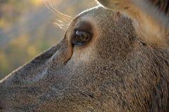 Plan rapproché d'oeil de cerfs communs Photographie stock libre de droits