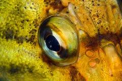Plan rapproché d'oeil de poissons Photos libres de droits