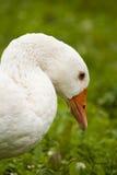 Plan rapproché d'oie Photos libres de droits