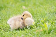 Plan rapproché d'oie de bébé Images libres de droits