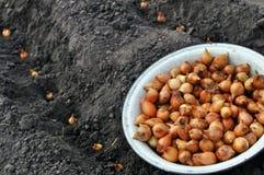 Plan rapproché d'oignon dans le procédé de plantation Photographie stock