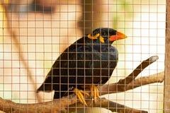 Plan rapproché d'oiseau noir de haut-parleur dans la cage Images libres de droits