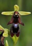 Plan rapproché d'orchidée de mouche images libres de droits