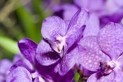 Plan rapproché d'orchidée lilas de cymbidium images stock
