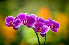 Plan rapproché d'orchidée rose Images libres de droits