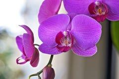 Plan rapproché d'orchidée rose Photos libres de droits