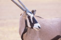 Plan rapproché d'oryx Photographie stock