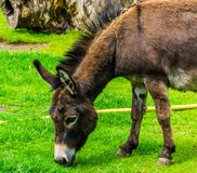 Plan rapproché d'un âne miniature frôlant dans le pâturage, espèce populaire d'animal de ferme images libres de droits