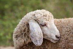 Plan rapproché d'un agneau images stock