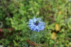 Plan rapproché d'un amour bleu de fleur dans une brume, damascena de Nigella sur les milieux verts Photographie stock libre de droits