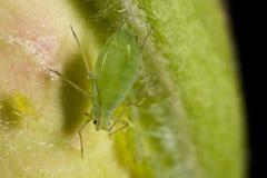 Plan rapproché d'un aphis vert Image libre de droits