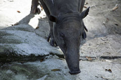 Plan rapproché d'un babirusa images stock