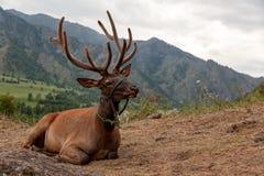 Plan rapproché d'un beau cerf commun brun photo libre de droits
