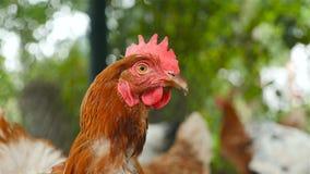 Plan rapproché d'un beau poulet Mouvement lent banque de vidéos
