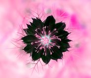 Plan rapproché d'un bel amour rose et noir en fleur de brume Photo libre de droits