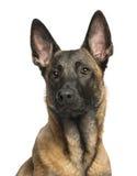 Plan rapproché d'un berger belge Dog images stock