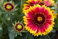 Plan rapproché d'un Blanketflower commun Image libre de droits