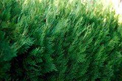 Plan rapproché d'un buisson vert luxuriant au soleil Images stock
