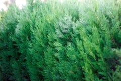 Plan rapproché d'un buisson vert luxuriant au soleil Photo libre de droits