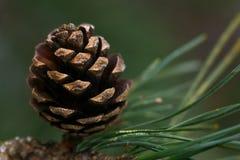 Plan rapproché d'un cône de pin sur une branche photo libre de droits