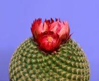 Plan rapproché d'un cactus rond avec la fleur rouge d'isolement à l'arrière-plan pourpre image stock