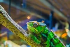 Plan rapproché d'un caméléon de panthère sur une branche, iguane coloré dans les couleurs vertes et noires, reptile tropical du M image stock