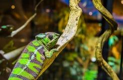 Plan rapproché d'un caméléon drôle de panthère sur une branche d'arbre, iguane tropical du Madagascar photographie stock libre de droits