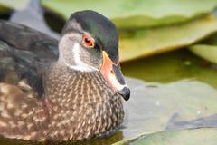 Plan rapproché d'un canard en bois masculin avec le plumage d'été photos libres de droits
