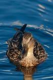 Plan rapproché d'un canard femelle de canard sur l'eau Images stock