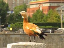 Plan rapproché d'un canard gris-brun avec la queue noire et la tête blanche photo stock