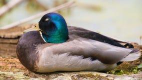 Plan rapproché d'un canard masculin de canard avec la tête verte iridescente - zone inondable rentré de la rivière du Minnesota d photos stock