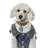 Plan rapproché d'un caniche avec une veste de jeans, d'isolement Photographie stock libre de droits