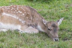 Plan rapproché d'un cerf commun affriché femelle Photos libres de droits