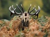Plan rapproché d'un cerf commun rouge hurlant pendant l'ornière image stock