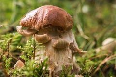 Plan rapproché d'un champignon de Porcino Images libres de droits