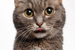 Plan rapproché d'un chat gris avec de grands yeux ronds léchés Photographie stock