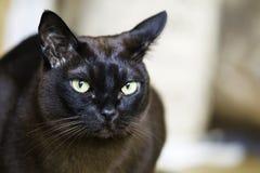 Plan rapproché d'un chat masculin birman de Brown Image libre de droits