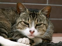 Plan rapproché d'un chat masculin gris domestique somnolent photo libre de droits