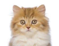 Plan rapproché d'un chaton à cheveux longs britannique, 2 mois, regardant l'appareil-photo Photos stock