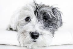 Plan rapproché d'un chien blanc avec l'oreille noire Photographie stock