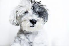 Plan rapproché d'un chien blanc avec l'oreille noire et les yeux fermés Image libre de droits