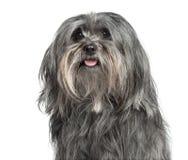 Plan rapproché d'un chien de Mélangé-race 5 années, d'isolement Photos stock