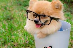 Plan rapproché d'un chien de Pomeranian dans la poubelle sur l'herbe image stock