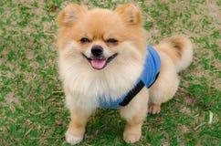 Plan rapproché d'un chien de Pomeranian se reposant sur l'herbe photos libres de droits