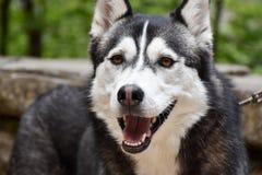 Plan rapproché d'un chien enroué aux yeux bruns sur une laisse Photographie stock