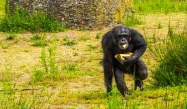 Plan rapproché d'un chimpanzé occidental rassemblant la nourriture, affouragement animal de zoo, espèce en critique mise en dange photos stock