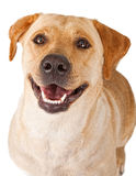 Plan rapproché d'un crabot jaune heureux de chien d'arrêt de Labrador Images stock