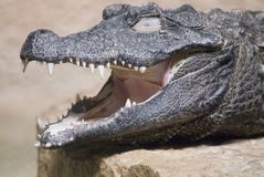 Plan rapproché d'un crocodile Images libres de droits